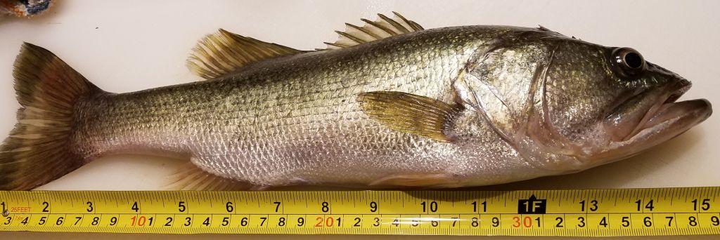 Sue's First Keeper Bass