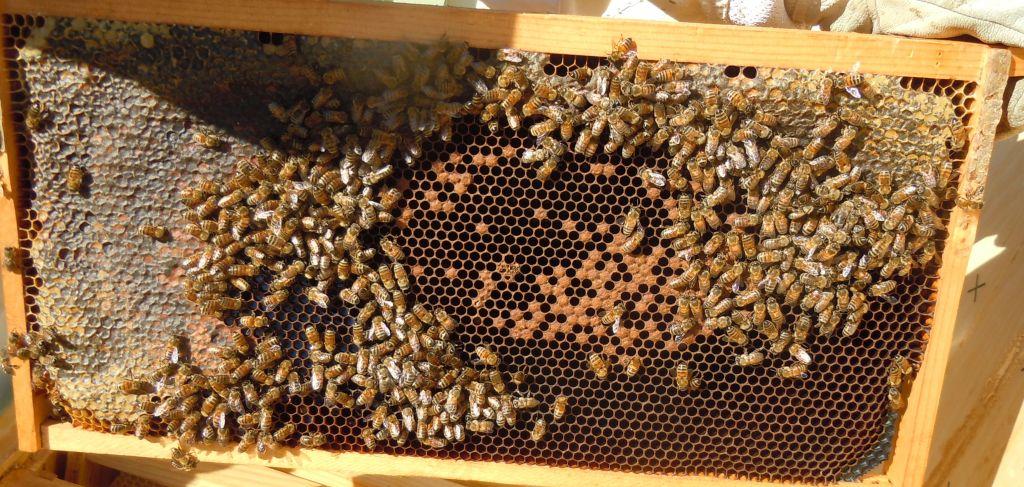 Hive 3 Brood Frame 1