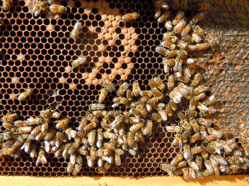 Hive 3 Brood Frame 2