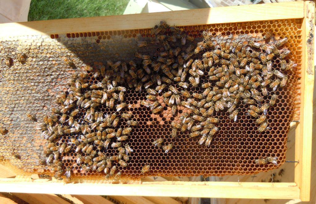 Hive 3 Brood Frame 3