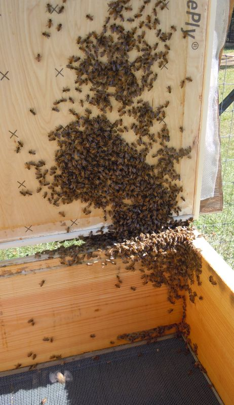 Homeless Bees Inside Hive 3