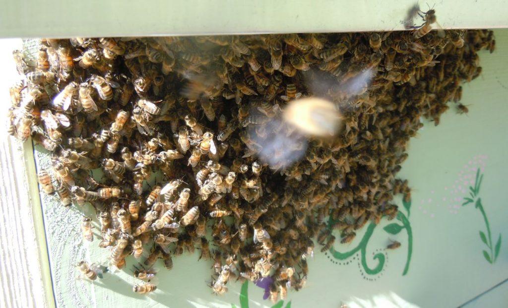 Homeless Bees Outside Hive 3