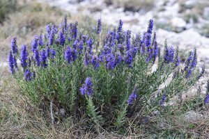 Photo of Hyssopus officinalis growing wild