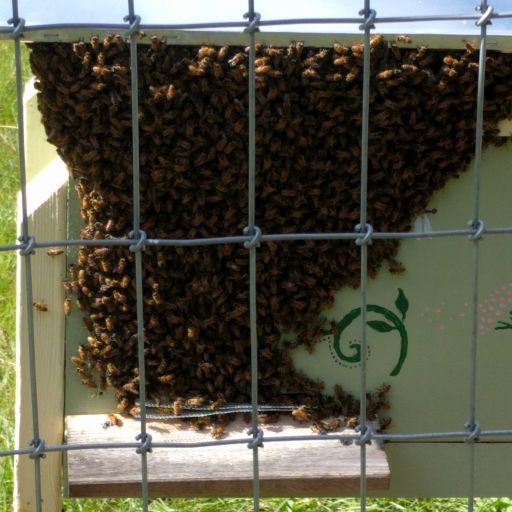 Honeybees locked out of their hive, congregating above the hive entrance.